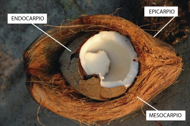 Estructura del coco